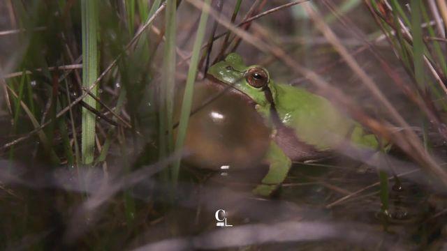 Biodiversité: la quasi-totalité des espèces de grenouille vivant en Suisse est menacée [RTS]