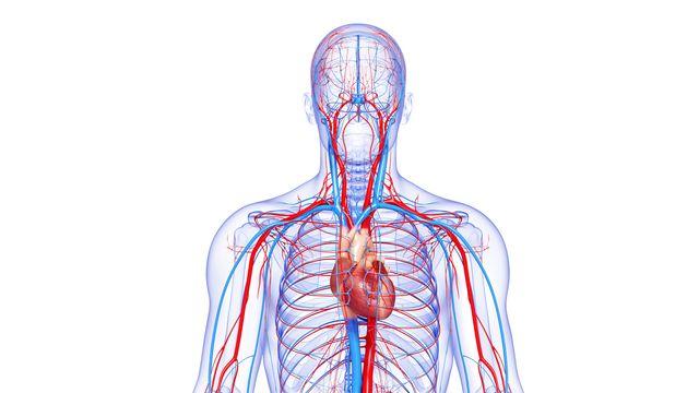Le système circulatoire complet du corps humain. [pixologic - Depositphotos]