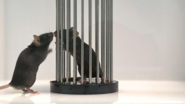 Une souris observatrice renifle l'odeur de cumin sur le museau d'une souris démonstratrice. Michaël Loureiro Unige [Michaël Loureiro - Unige]