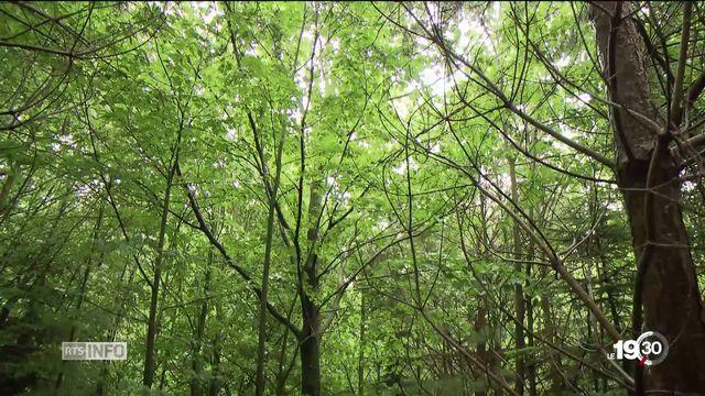 20 ans après l'ouragan Lothar, la forêt se porte bien. [RTS]
