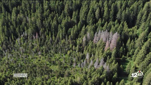 La forêt jurassienne se meurt. Dans les Franches-Montagnes, l'état de santé des sapins inquiète. [RTS]