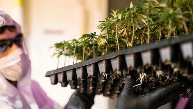 Le cannabis devrait devenir plus facile d'accès dans son utilisation médicale.  [Christian Beutler - Keystone ]