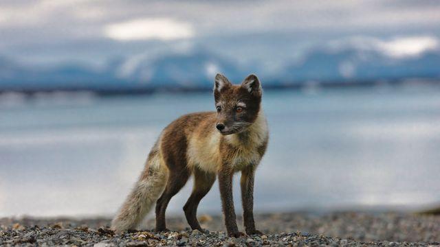 Un renard polaire (image d'illustration). [Stéphane Godin - Hemis/AFP]