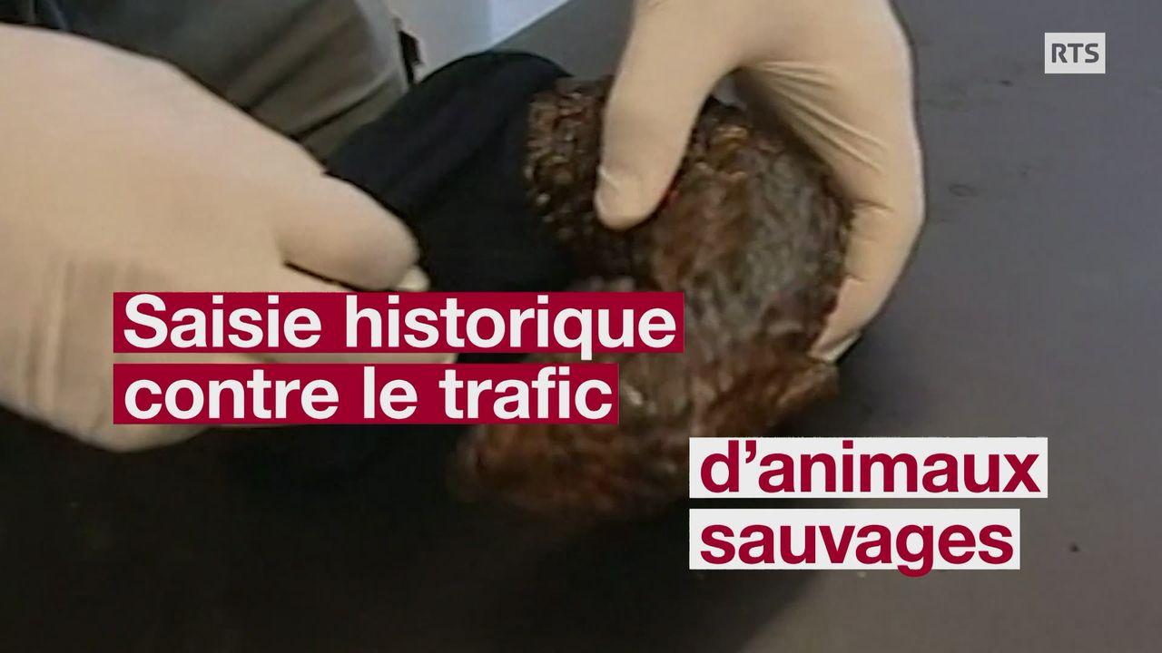 Des milliers d'animaux sauvages victimes de trafic saisis par Interpol [RTS]