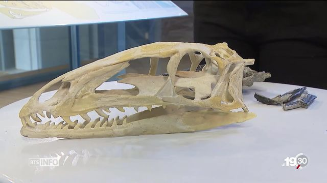 Découverte d'une espèce rare de dinosaure carnivore à Frick, en Argovie [RTS]