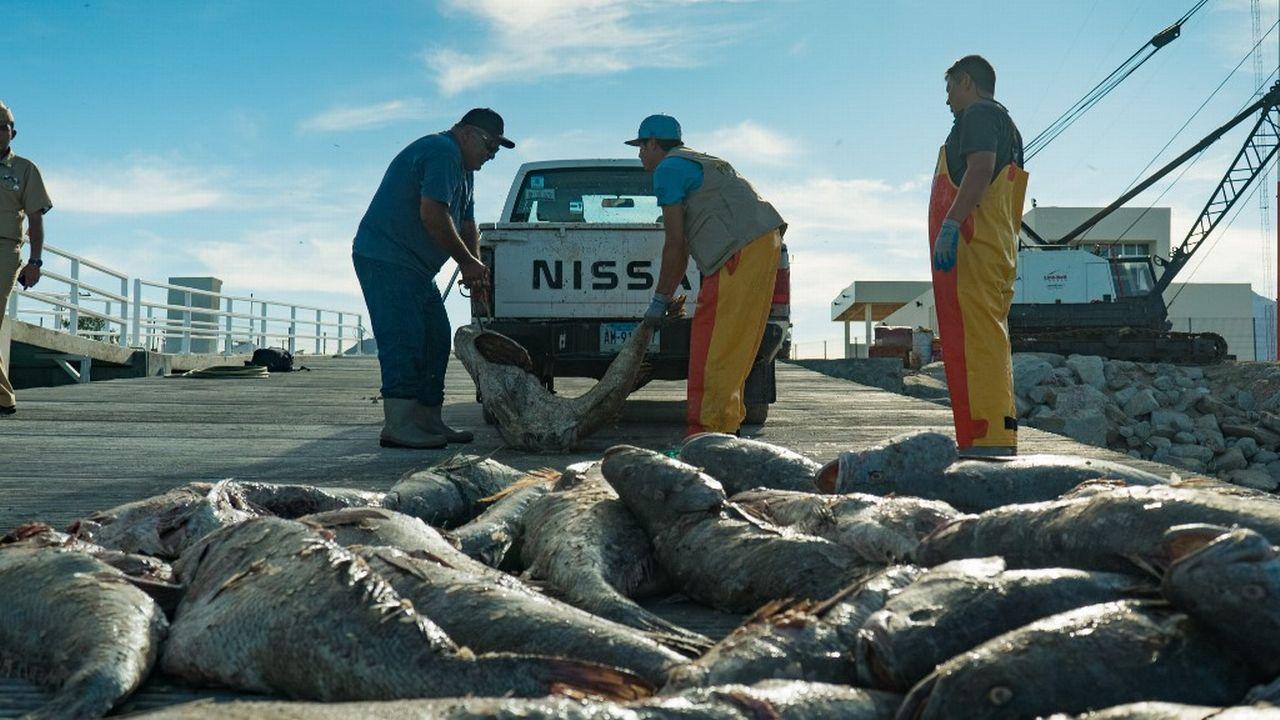 Braconnage massif du totoaba au Mexique pour sa vessie natatoire très prisée en Chine. [Sea Shepherd Conservation Society - AFP]