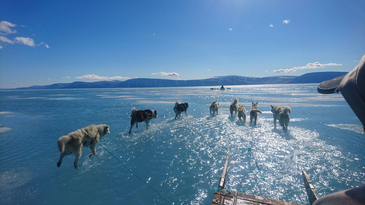 Des chiens tirent des traîneaux à travers de la glace fondante, lors d'une expédition sur la côte nord-ouest du Groenland, le 13 juin 2019. [Steffen M. Olsen - Keystone/epa/Danmarks Meteorologiske Institut (DMI)]