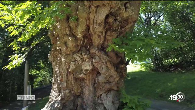 La société vaudoise de sylviculture dresse un inventaire des vieux arbres. Des biotopes fondamentaux pour nos écosystèmes [RTS]