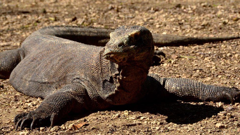 Le Doc Nature Les Dragons De Komodo Une Histoire D Amour