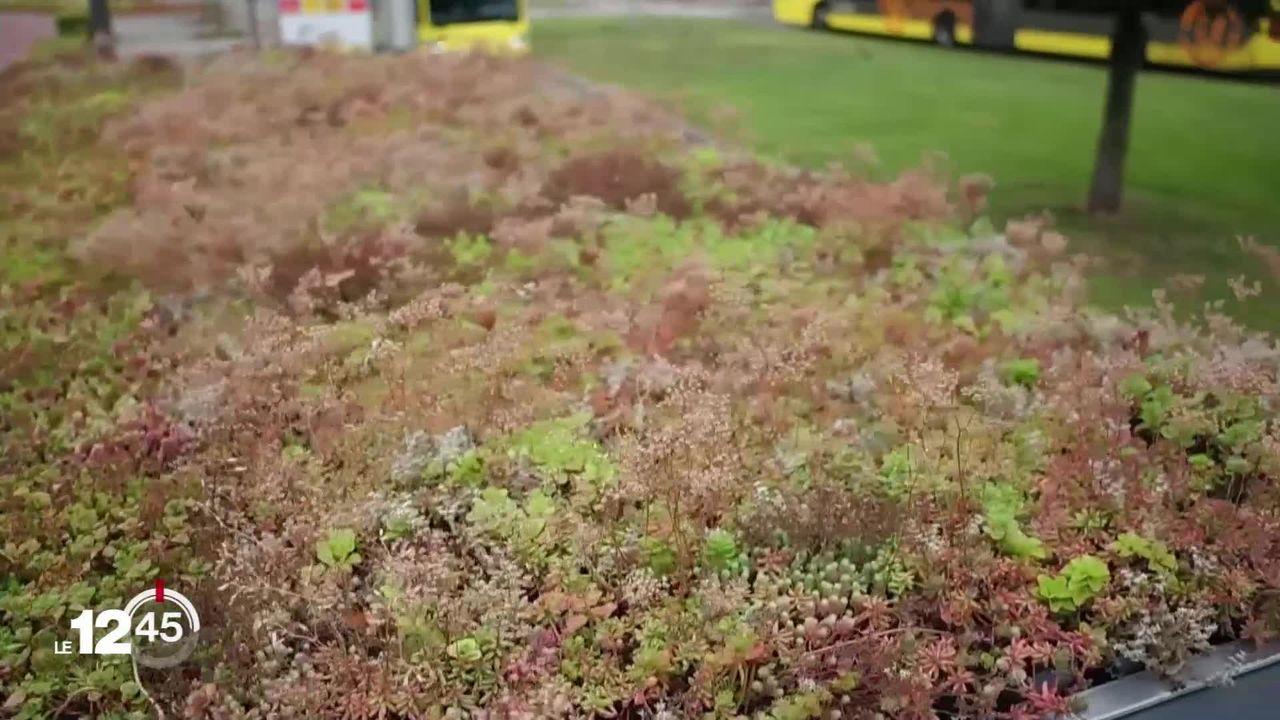 Un tiers de espèces d'insectes sont menacées d'extinction. La ville d'Utrecht leur offre des refuges dans les abribus. [RTS]