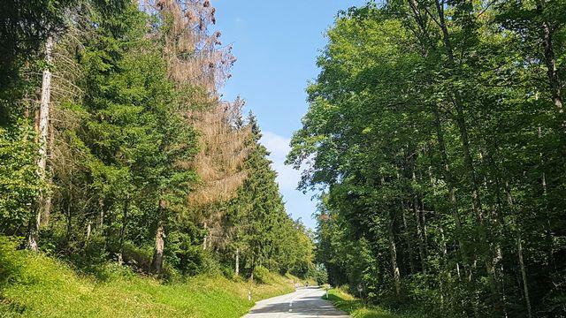 """Le canton du Jura face à une """"catastrophe forestière inédite""""."""