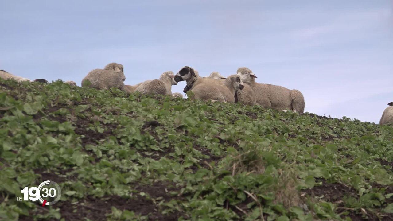 Les loups s'installent sur le territoire suisse. Les attaques sur les moutons pourraient s'intensifier. [RTS]