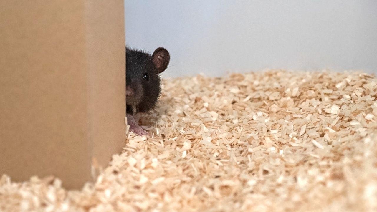 Les rats aussi aiment jouer à cache-cache. [Reinhold, Sanguinetti-Scheck, Hartmann & Brecht - HO/AFP]
