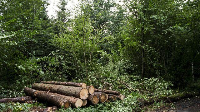 La coupe d'arbre peut permettre aux forêts de mieux s'adapter aux changements climatiques. [Alexandra Wey - Keystone]