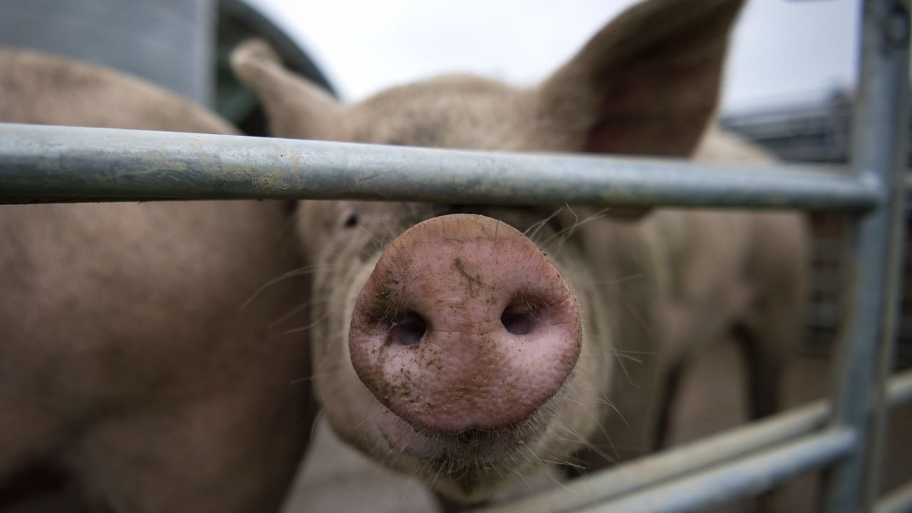 """L'initiative """"Non à l'élevage intensif"""" a été déposée à Berne. [Melanie Duchene - Keystone]"""