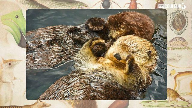 Coitus Animalus - La loutre de mer
