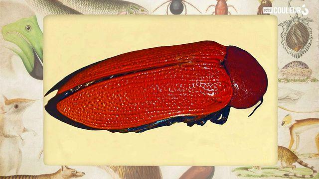 "Coitus Animalus - Julodimorpha dit ""Juju"""