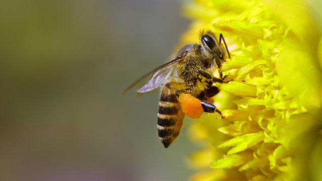 Une abeille collecte du pollen. [Gurinder Osan - AP/Keystone]