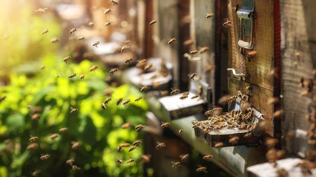 Abeilles rentrant à la ruche. [© photografiero - Fotolia]