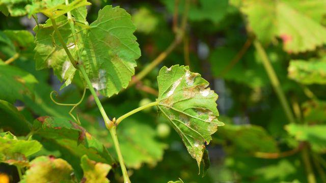 Le mildiou de la vigne est le cauchemar des viticulteurs. thefutureis Depositphotos [thefutureis - Depositphotos]