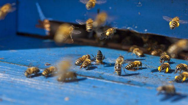 Des abeilles à l'entrée d'une ruche dans le canton de Bâle-Campagne. [Martin Ruetschi - Keystone]