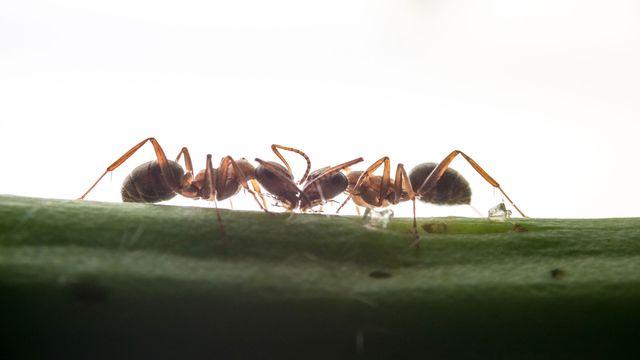 Pas d'embouteillages chez les fourmis! [fotolubitel2017 - Depositphotos]