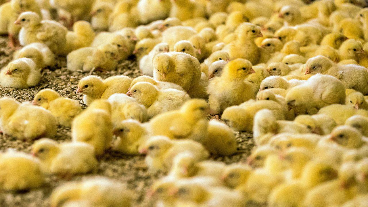En Suisse, les poussins ne seront plus broyés vivants. [Jens Büttner - Keystone]