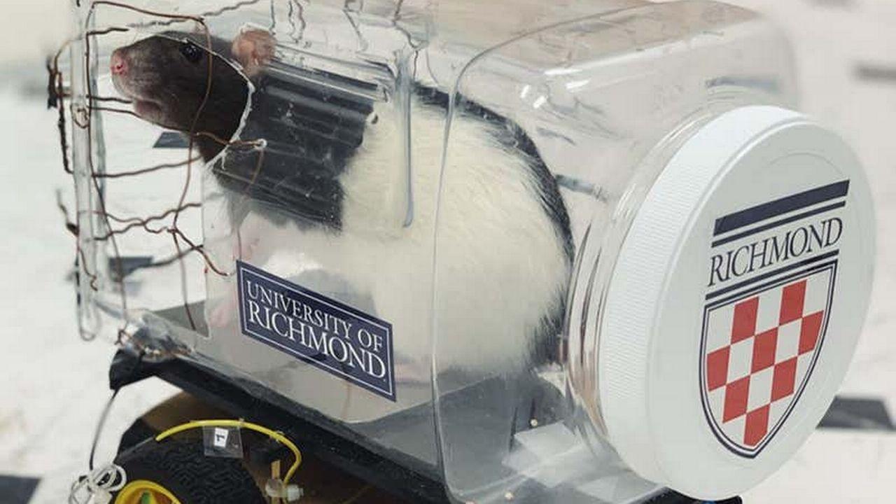 Les rats semblent trouver la conduite de ces petites voitures relaxante... [Kelly Lambert - University of Richmond]