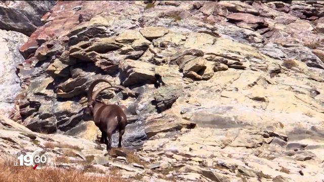 """Les réactions fusent après la diffusion du reportage de """"Mise au Point"""" sur la chasse en Valais. [RTS]"""