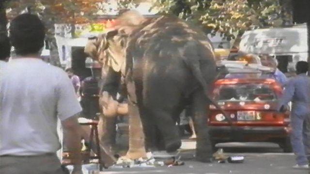 Deux éléphants échappés du cirque Knie en 1991. [RTS]