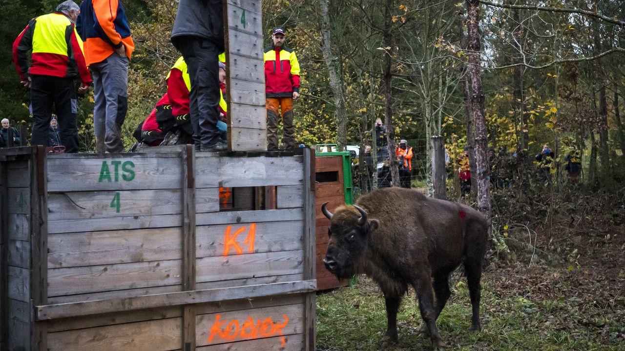 Disparu depuis huit siècles, le bison d'Europe est de retour en Suisse. [Laurent Gillieron - Keystone]