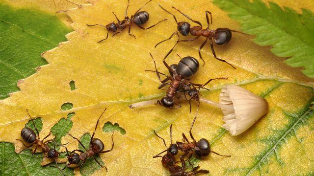 Les fourmis livrent de nombreuses batailles. antrey Depositphotos [antrey - Depositphotos]