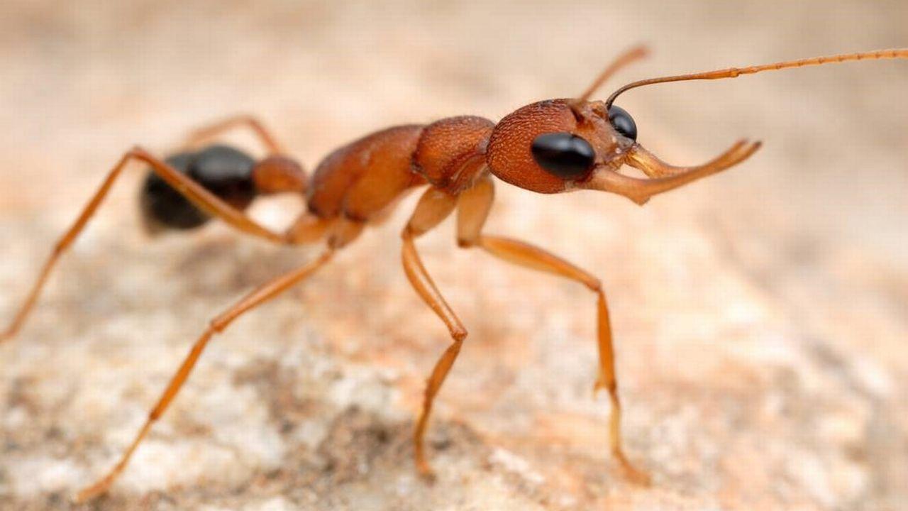 """Une fourmi. Fourni par les éditions Favre pour le livre """"Les guerres secrètes des fourmis"""" de Chloé Bertelsmeier. [Alex Wild - /Editions Favre]"""