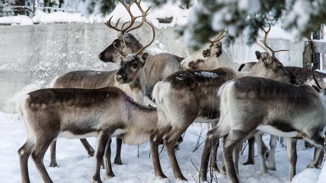Les rennes sont menacés en Laponie à cause du changement climatique [Malin Moberg - AP Photo/Keystone]
