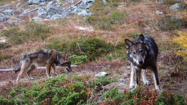Deux loups photographiés en Suisse en 2016. [Gruppe Wolf Schweiz - Groupe Loup Suisse]