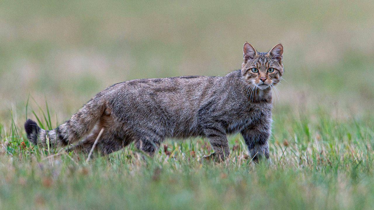 En 2020, le chat sauvage d'Europe (Felis silvestris) sera l'ambassadeur des forêts sauvages, des paysages cultivés riches en abris et d'une protection efficace de la nature. Autrefois au bord de l'extinction, cet élégant chasseur colonise aujourd'hui de nouveaux territoires. [Fabrice Cahez - Pro Natura]