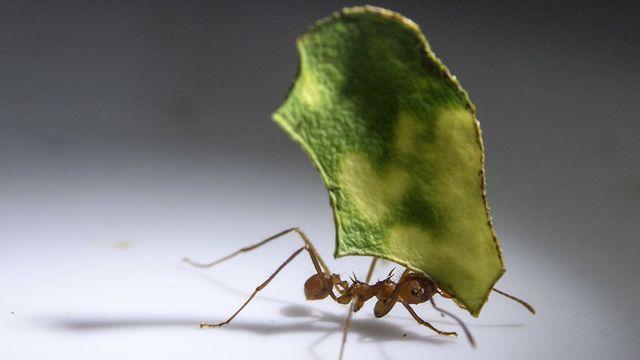 Des supergènes déterminent l'organisation politique des fourmis [Martial Trezzini - Keystone]