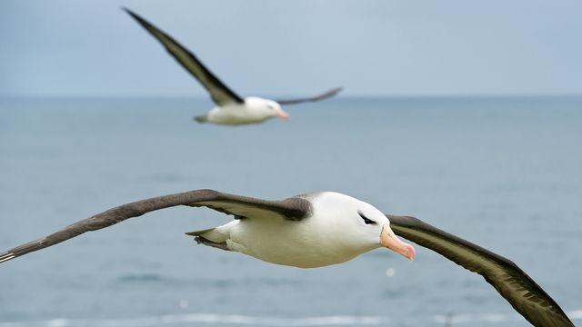 Albatros en plein vol. [mzphoto - Depositphotos]