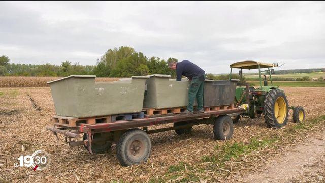Culture du riz en Suisse. Un agriculteur vaudois a récolté 180 kilos dans le cadre du projet pilote de la Confédération [RTS]