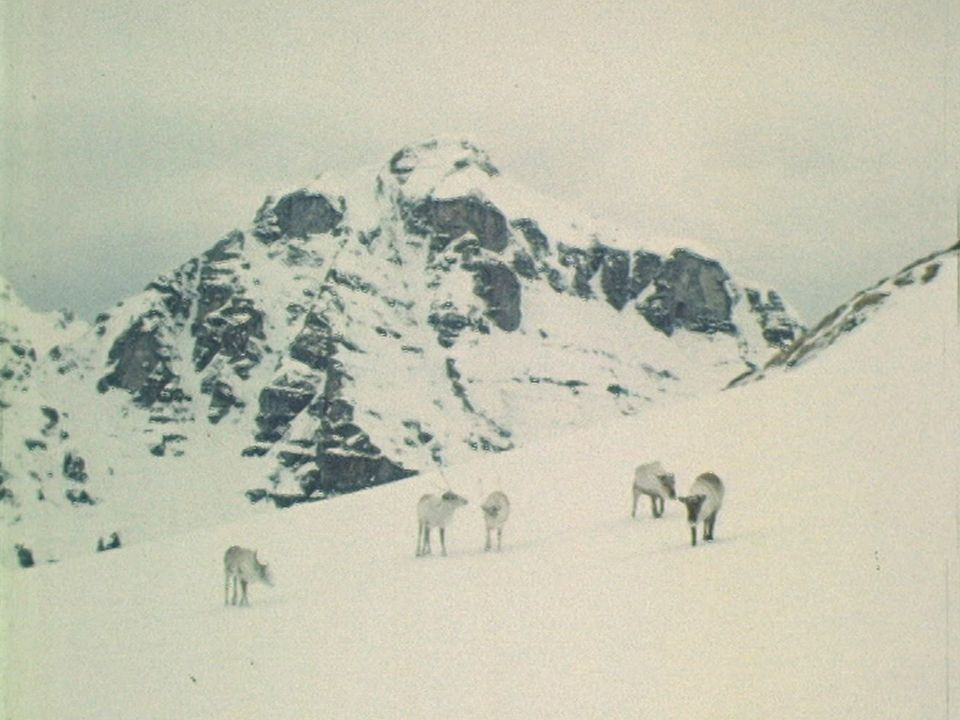 Des rennes aperçus en Valais [RTS]