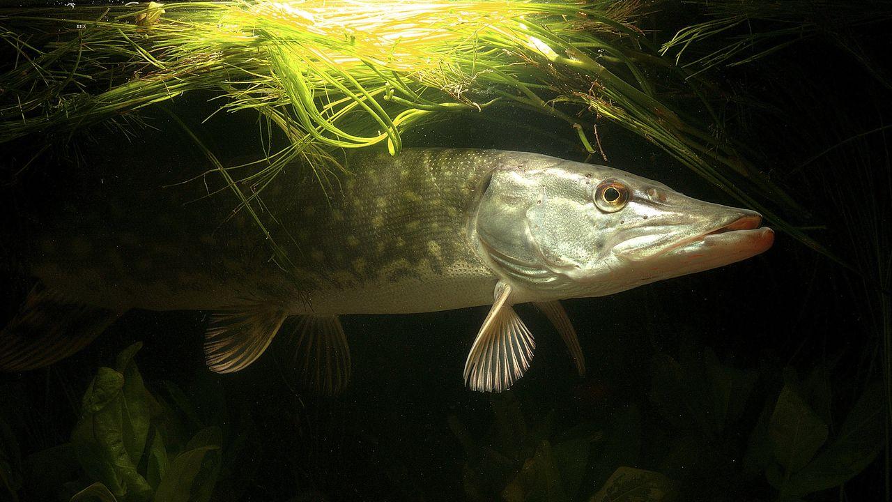 Un brochet, l'un des poissons d'eau douce marquant selon l'étude. [F. Brasselet - AFP/HorizonFeatures/Leemage]