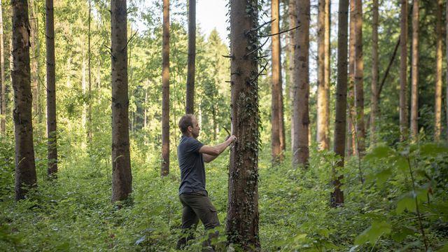 Un forestier inspecte une forêt touchée par le bostryche typographe dans le canton de Lucerne. [Urs Flueeler - Keystone]