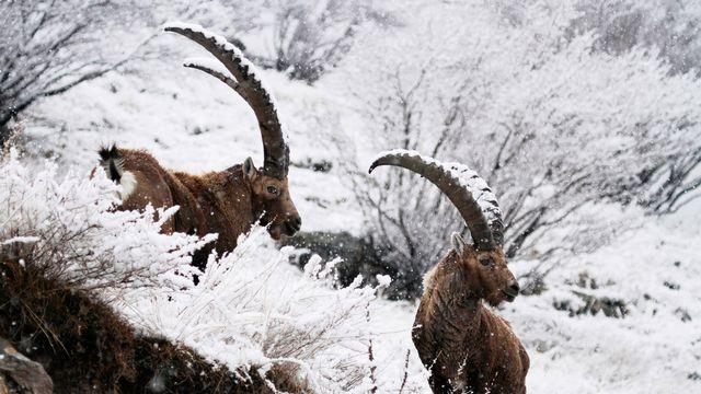 Deux bouquetins des Alpes... alpine ibex, de leur nom latin.