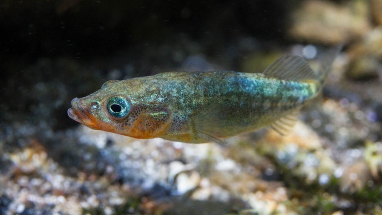L'épinoche, ou Gasterosteus aculeatus. [Anne-Cécile Monnier - fishipedia.fr]
