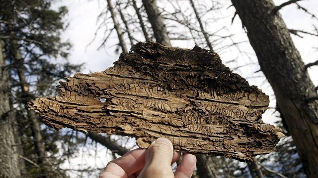 Le bostryche a notamment profité des arbres affaiblis par la sécheresse de 2018. [Arno Balzarini - Keystone]