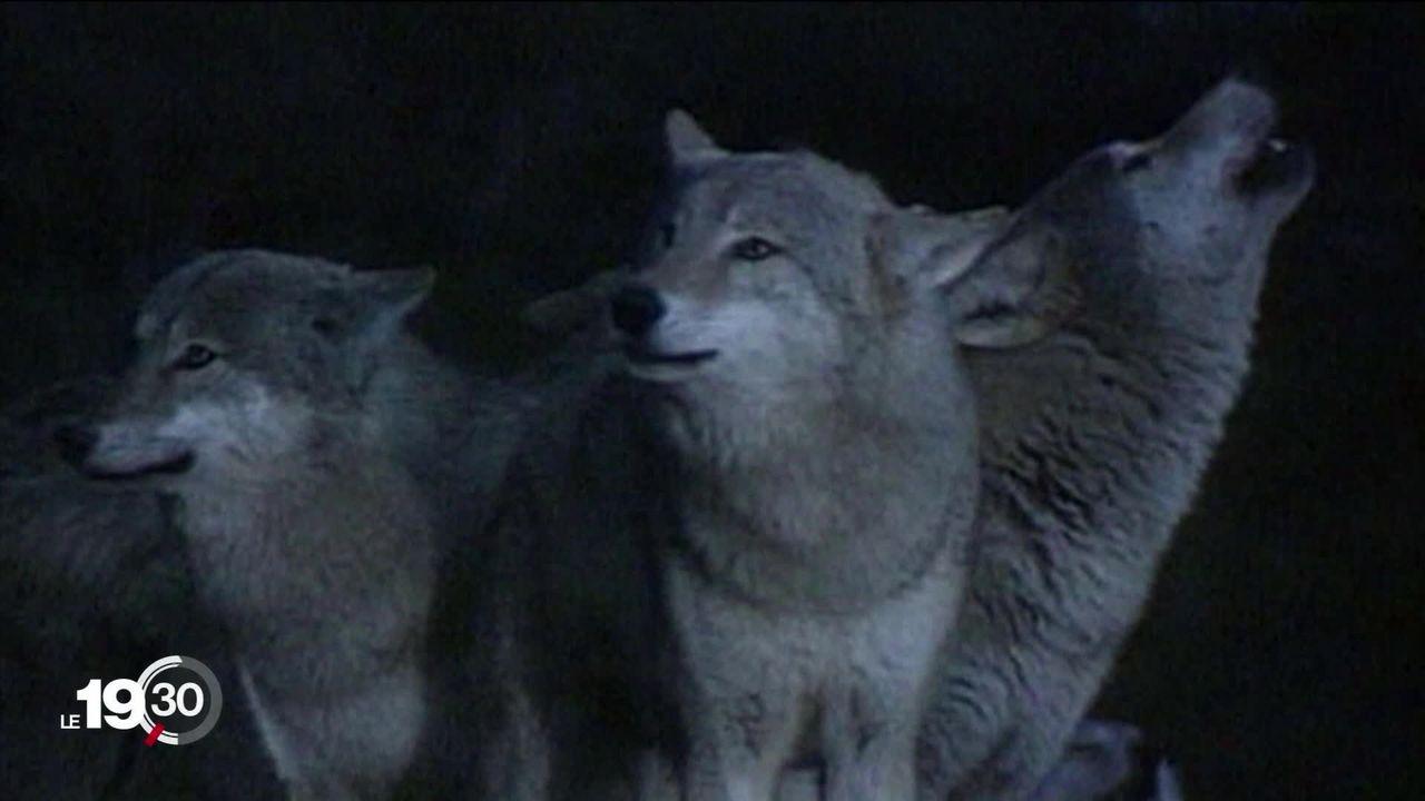 Nouvelle loi sur la chasse en votations le 17 mai prochain: le tir du loup controversé. [RTS]