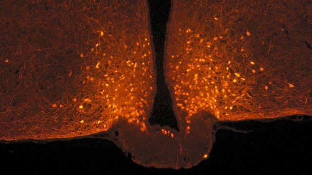 Neurones POMC (points oranges) dans l'hypothalamus, à la base du cerveau. Photo acquise chez la souris avec un microscope confocal. Danaé Nuzzaci CNRS/CSGA [Danaé Nuzzaci - CNRS/CSGA]