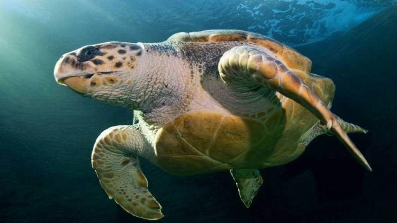 Yoshi est une tortue de mer Caouanne (Caretta caretta en latin) qui a parcouru 37'000 kilomètres en 26 mois pour passer de l'Afrique à l'Australie. [Jean Tresfon - Two Oceans Aquarium]