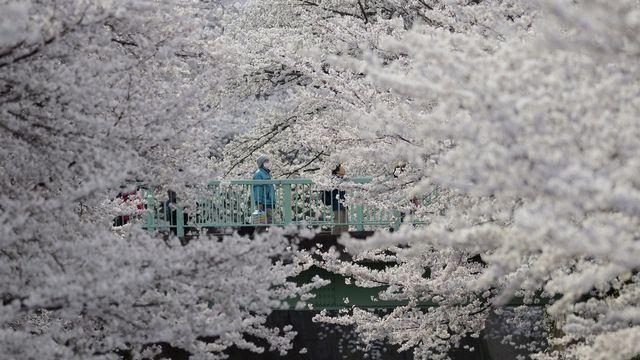 Des promeneurs contemplent la floraison des cerisiers sur une passerelle surplombant la rivière Kanda, qui traverse Tokyo. [Franck Robichon - Keystone/EPA]