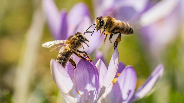 Le Service sanitaire apicole demande une utilisation prudente des insecticides et autres substances dangereuses pour les abeilles.  [DPA/Frank Rumpenhorst - Keystone]